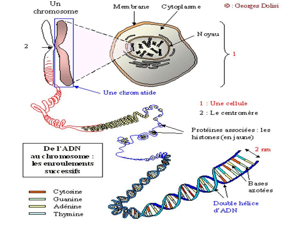 ADN = molécule de lhérédité Elle est constituée par un ensemble de gènes gène = bout dADN qui sert à fabriquer une protéine dont un organisme a besoin