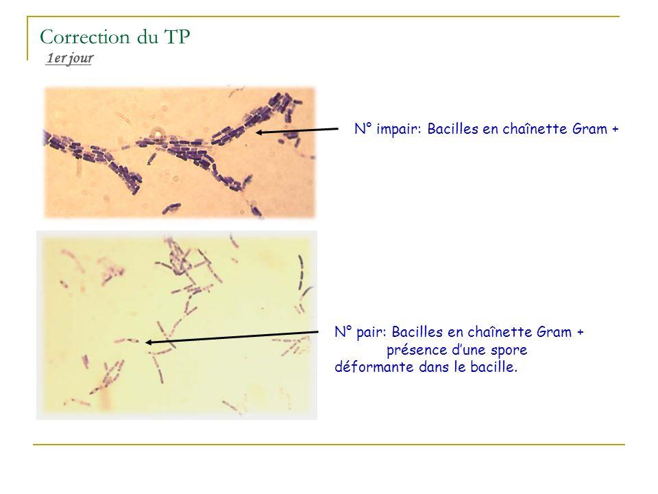 Correction du TP 1er jour N° impair: Bacilles en chaînette Gram + N° pair: Bacilles en chaînette Gram + présence dune spore déformante dans le bacille