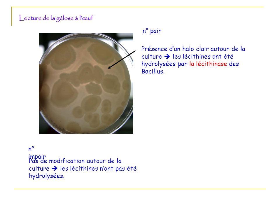 Lecture de la gélose à lœuf Présence dun halo clair autour de la culture les lécithines ont été hydrolysées par la lécithinase des Bacillus. n° pair n