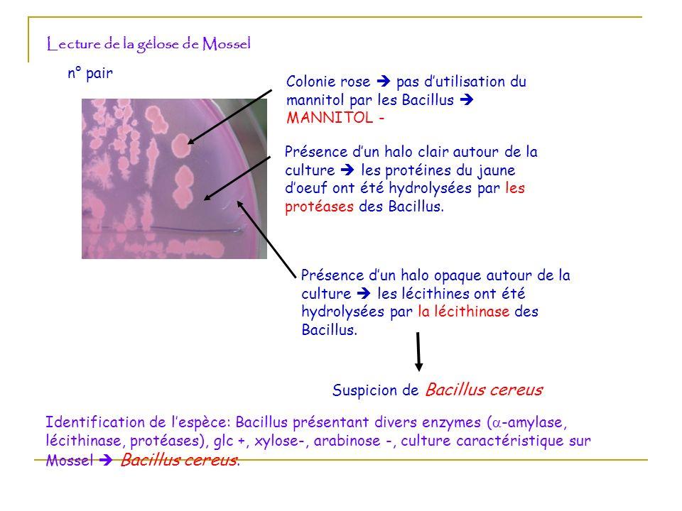 Lecture de la gélose de Mossel n° pair Colonie rose pas d utilisation du mannitol par les Bacillus MANNITOL - Présence d un halo clair autour de la cu