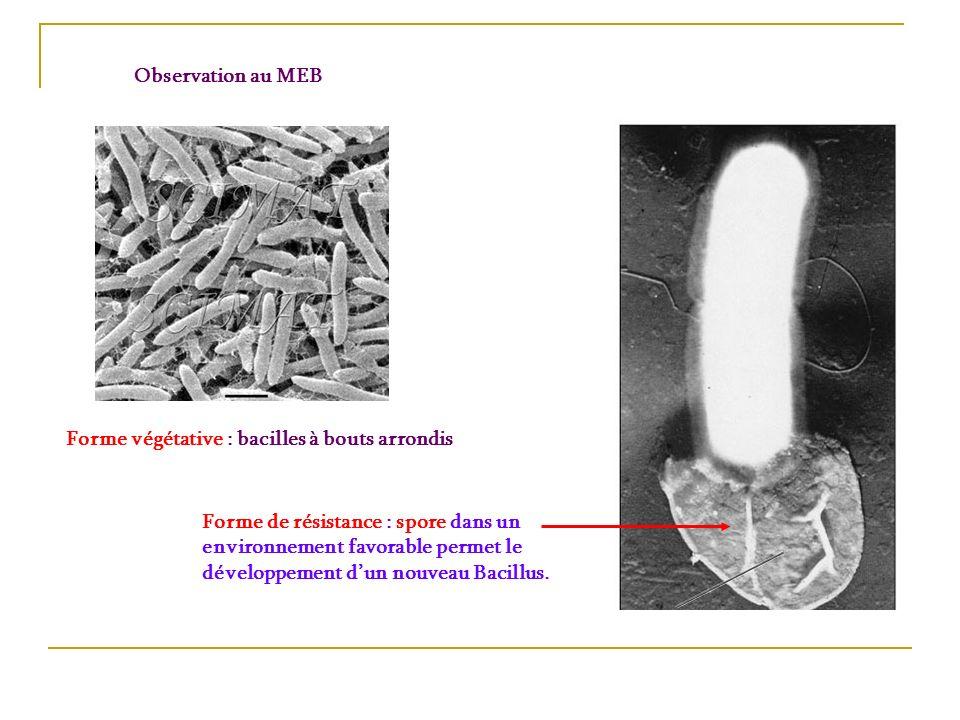 Observation au MEB Forme végétative : bacilles à bouts arrondis Forme de résistance : spore dans un environnement favorable permet le développement du