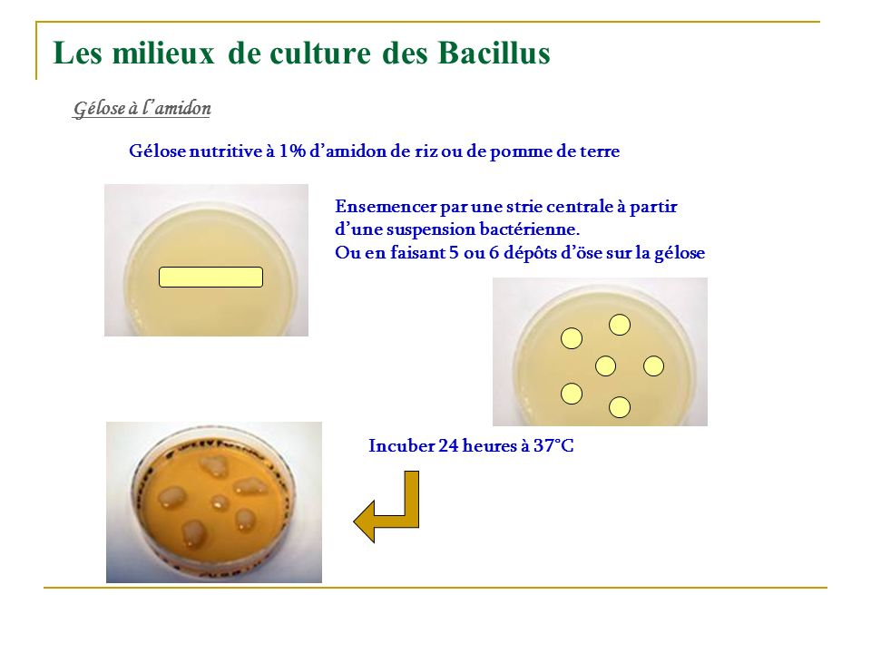 Les milieux de culture des Bacillus Gélose à lamidon Gélose nutritive à 1% damidon de riz ou de pomme de terre Ensemencer par une strie centrale à par