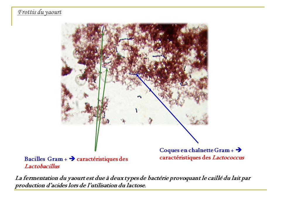 Frottis du yaourt Coques en chaînette Gram + caractéristiques des Lactococcus Bacilles Gram + caractéristiques des Lactobacillus La fermentation du ya