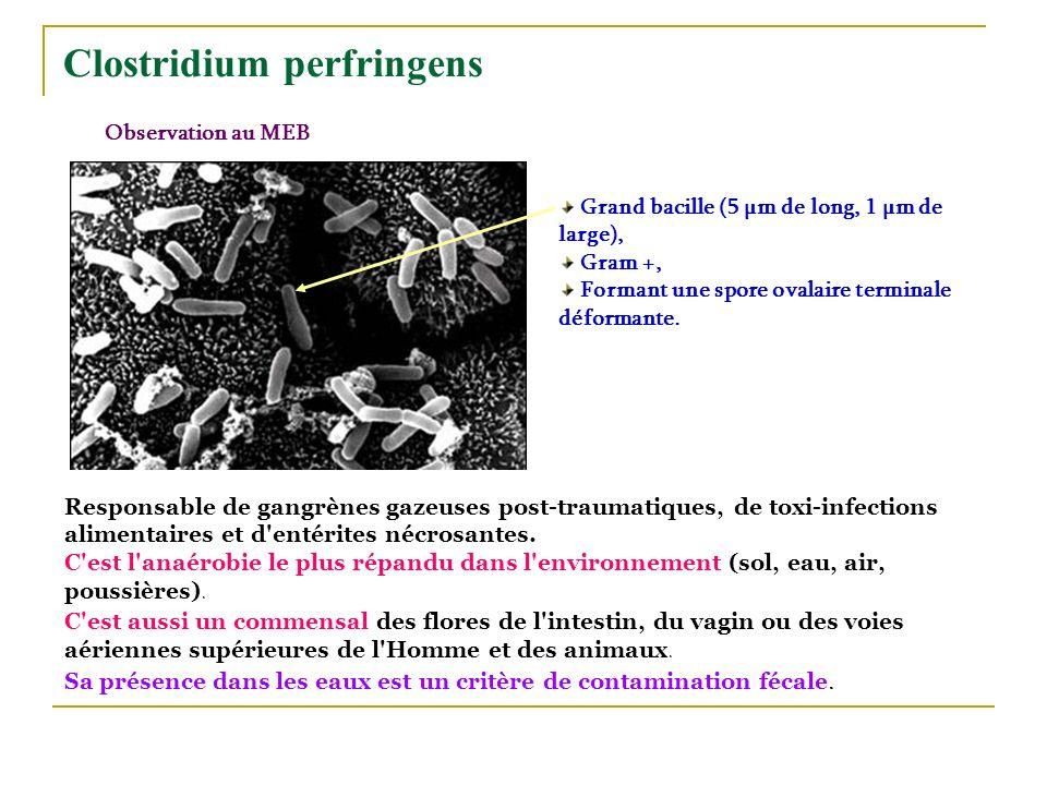 Clostridium perfringens Observation au MEB Grand bacille (5 µm de long, 1 µm de large), Gram +, Formant une spore ovalaire terminale déformante. Respo