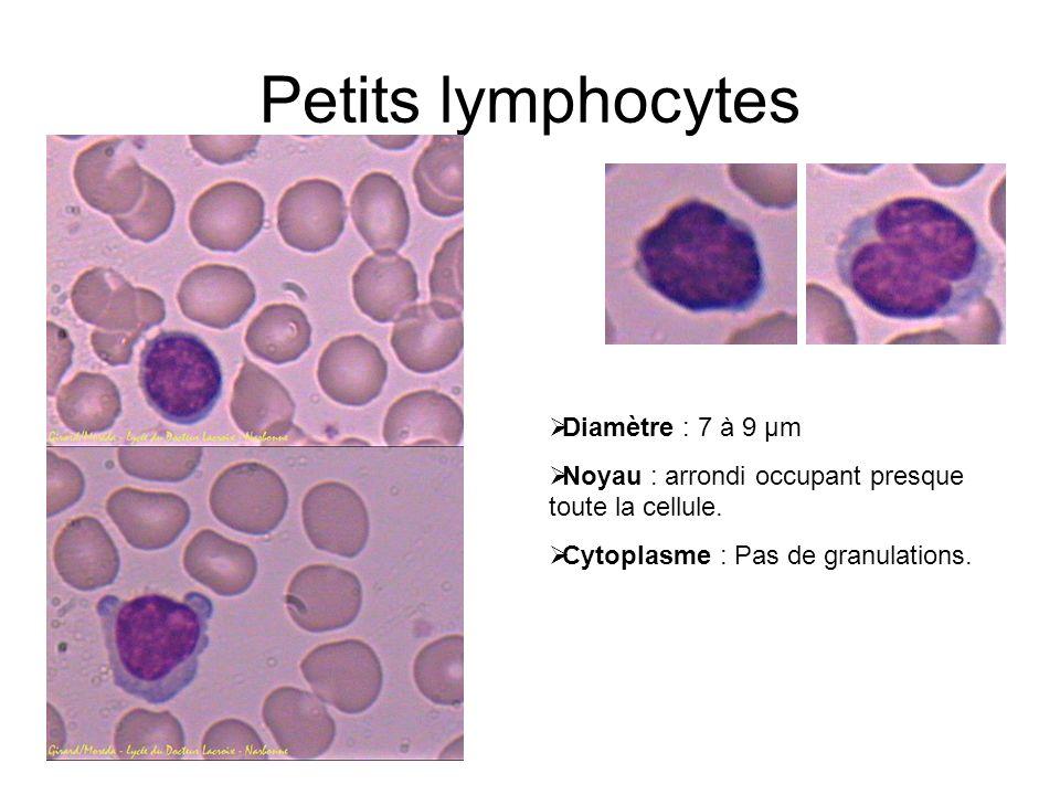 Petits lymphocytes Diamètre : 7 à 9 µm Noyau : arrondi occupant presque toute la cellule. Cytoplasme : Pas de granulations.
