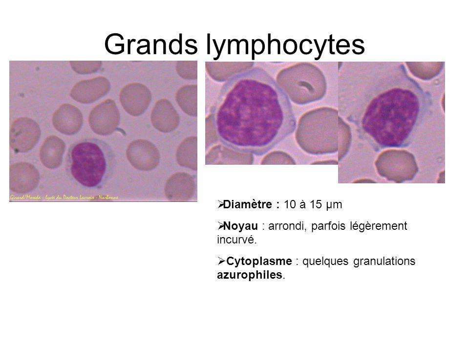 Grands lymphocytes Diamètre : 10 à 15 µm Noyau : arrondi, parfois légèrement incurvé. Cytoplasme : quelques granulations azurophiles.