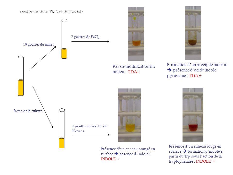 Recherche de la TDA et de lindole 10 gouttes du milieu Reste de la culture 2 gouttes de FeCl 3 2 gouttes de réactif de Kovacs Pas de modification du milieu : TDA - Formation dun précipité marron présence d acide indole pyruvique : TDA + Présence d un anneau orangé en surface absence d indole : INDOLE - Présence d un anneau rouge en surface formation d indole à partir du Trp sous l action de la tryptophanase : INDOLE +