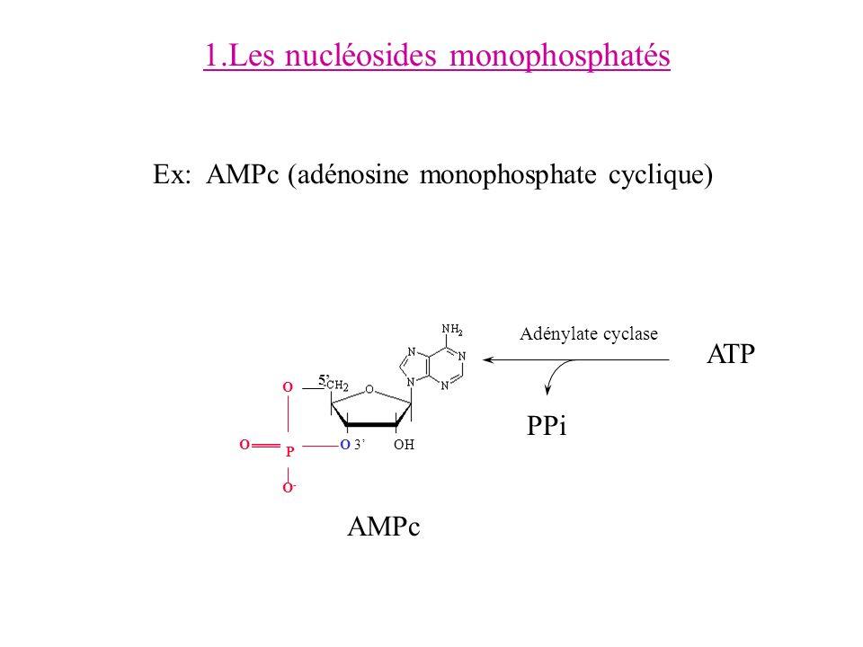 1.Les nucléosides monophosphatés Ex: AMPc (adénosine monophosphate cyclique) ATP PPi Adénylate cyclase OH 5 O P O 3 O-O- O AMPc