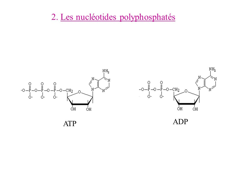 3.Les coenzymes Phosphorylé pour le NADP Liaison phosphoanhydride 5 5 Noyau pyridine 3.1.