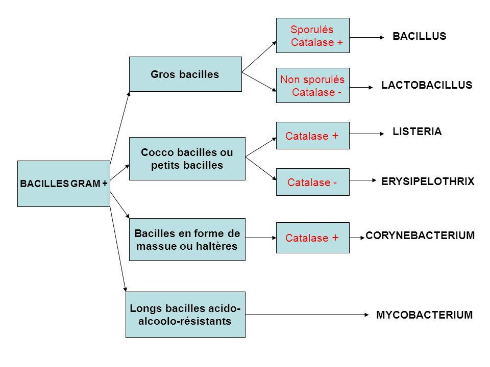 BACILLES GRAM + Gros bacilles Cocco bacilles ou petits bacilles Bacilles en forme de massue ou haltères Longs bacilles acido- alcoolo-résistants Sporulés Catalase + Non sporulés Catalase - Catalase + Catalase - Catalase + BACILLUS LACTOBACILLUS LISTERIA ERYSIPELOTHRIX CORYNEBACTERIUM MYCOBACTERIUM