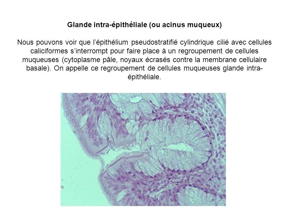 Glande intra-épithéliale (ou acinus muqueux) Nous pouvons voir que lépithélium pseudostratifié cylindrique cilié avec cellules caliciformes sinterromp