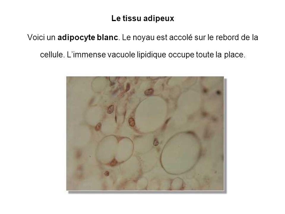 Le tissu adipeux Voici un adipocyte blanc. Le noyau est accolé sur le rebord de la cellule. Limmense vacuole lipidique occupe toute la place.