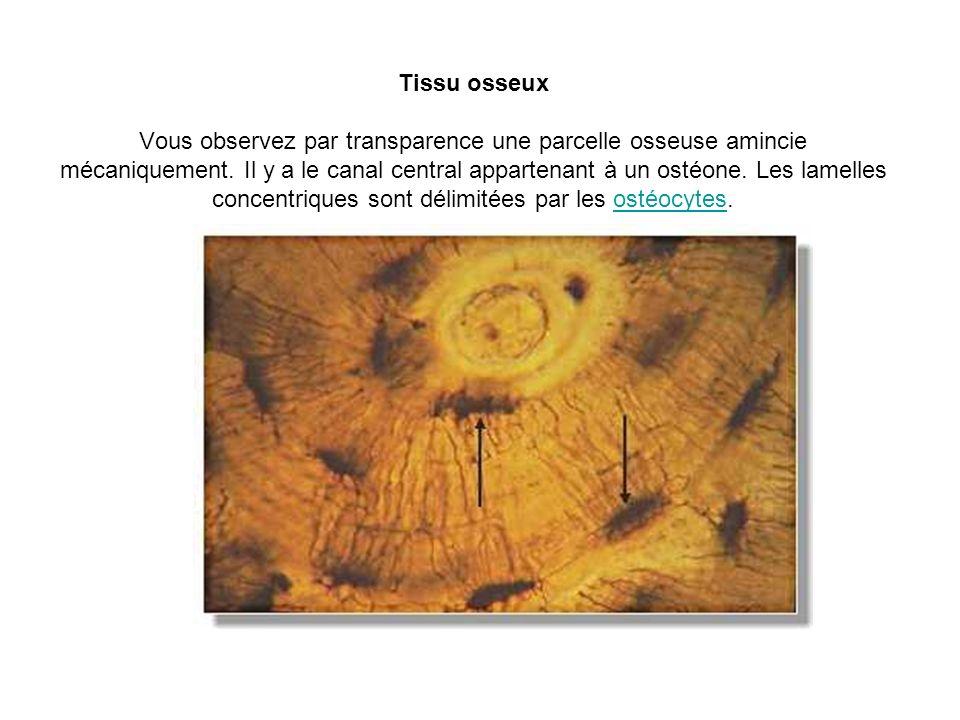 Tissu osseux Vous observez par transparence une parcelle osseuse amincie mécaniquement. Il y a le canal central appartenant à un ostéone. Les lamelles