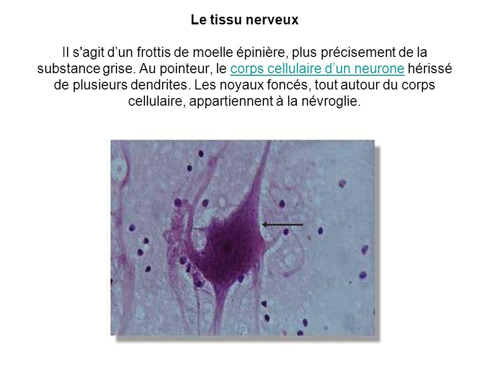 Le tissu nerveux Il s'agit dun frottis de moelle épinière, plus précisement de la substance grise. Au pointeur, le corps cellulaire dun neurone hériss