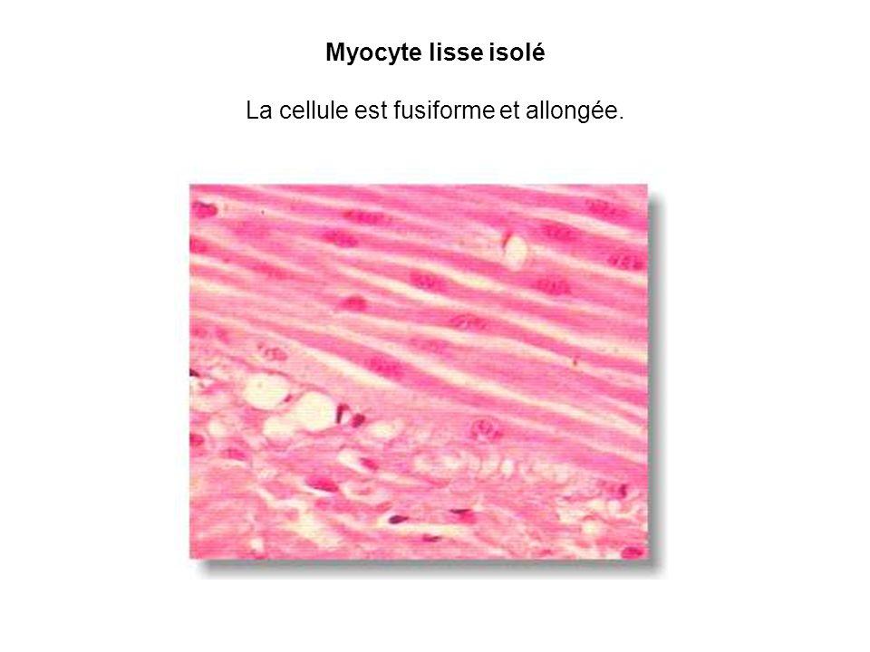 Myocyte lisse isolé La cellule est fusiforme et allongée.