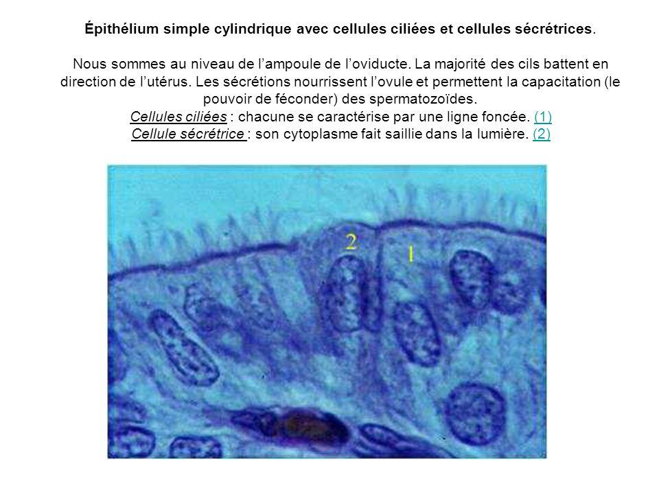 Épithélium simple cylindrique avec cellules ciliées et cellules sécrétrices. Nous sommes au niveau de lampoule de loviducte. La majorité des cils batt