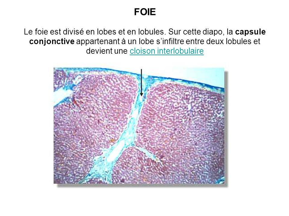 FOIE Le foie est divisé en lobes et en lobules. Sur cette diapo, la capsule conjonctive appartenant à un lobe sinfiltre entre deux lobules et devient