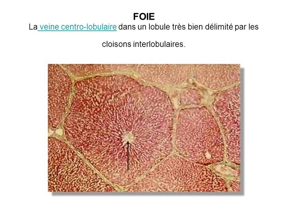 FOIE La veine centro-lobulaire dans un lobule très bien délimité par les cloisons interlobulaires. veine centro-lobulaire