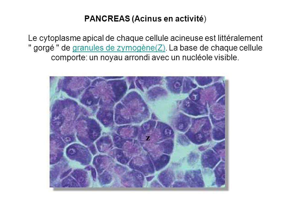 PANCREAS (Acinus en activité) Le cytoplasme apical de chaque cellule acineuse est littéralement