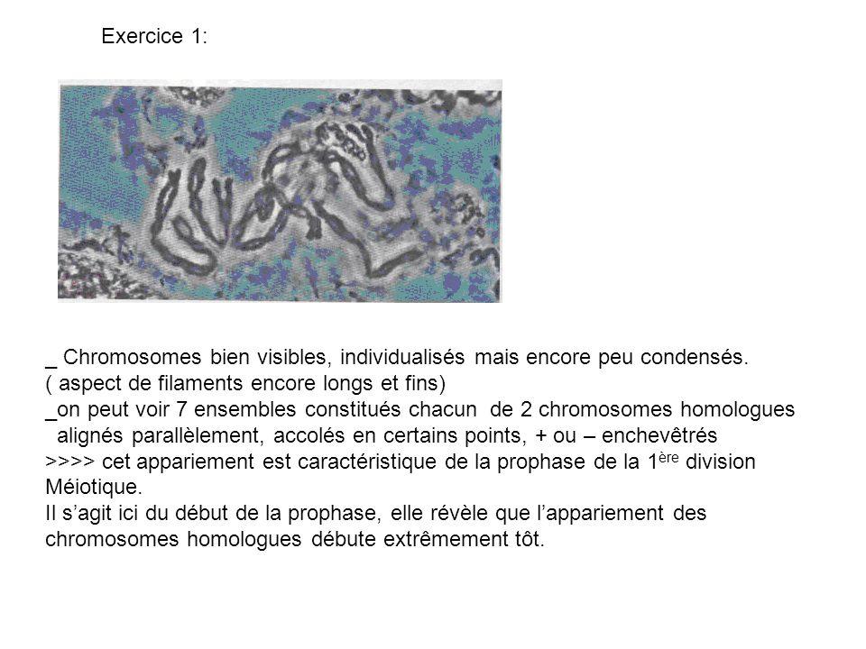 Exercice 1: _ Chromosomes bien visibles, individualisés mais encore peu condensés. ( aspect de filaments encore longs et fins) _on peut voir 7 ensembl