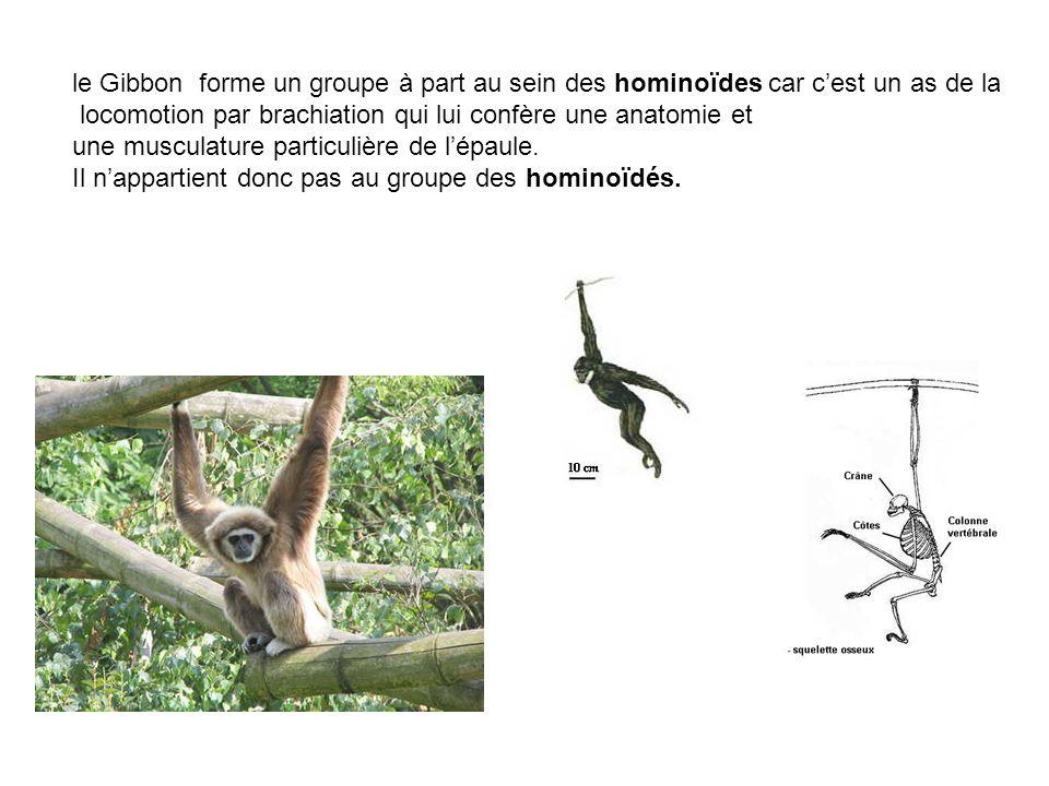 le Gibbon forme un groupe à part au sein des hominoïdes car cest un as de la locomotion par brachiation qui lui confère une anatomie et une musculatur