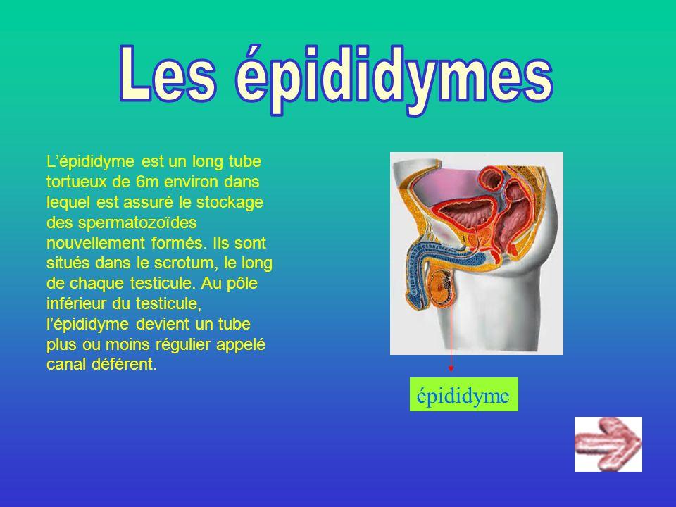 Lépididyme est un long tube tortueux de 6m environ dans lequel est assuré le stockage des spermatozoïdes nouvellement formés. Ils sont situés dans le