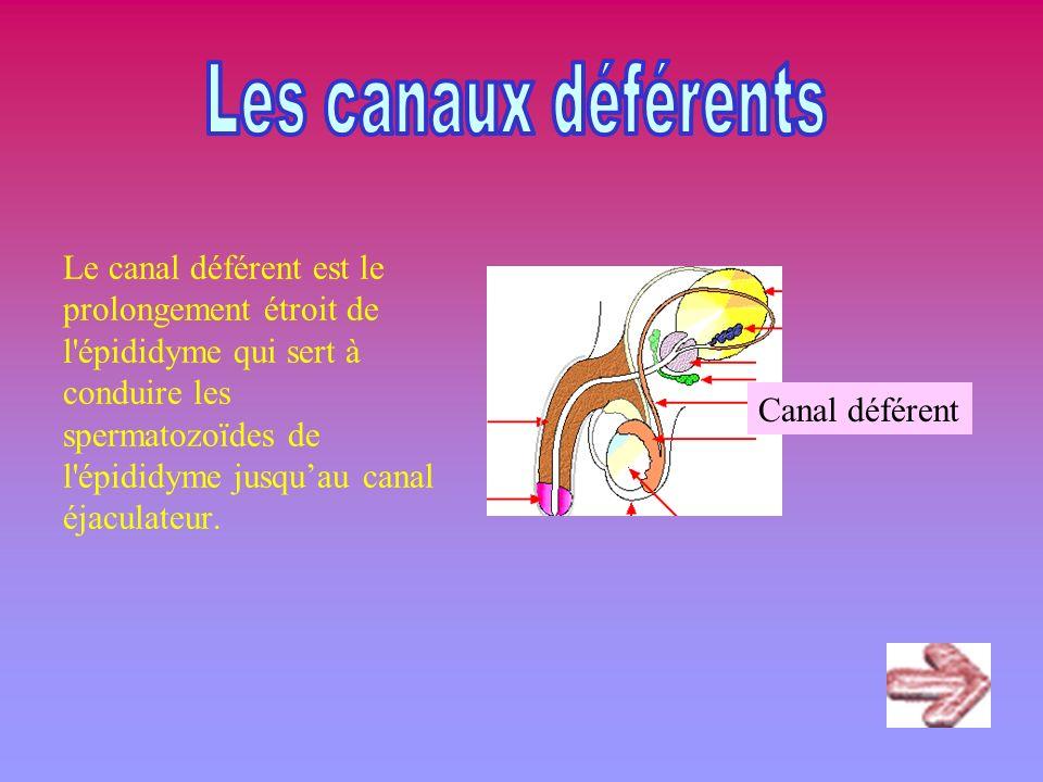 Le canal déférent est le prolongement étroit de l'épididyme qui sert à conduire les spermatozoïdes de l'épididyme jusquau canal éjaculateur. Canal déf