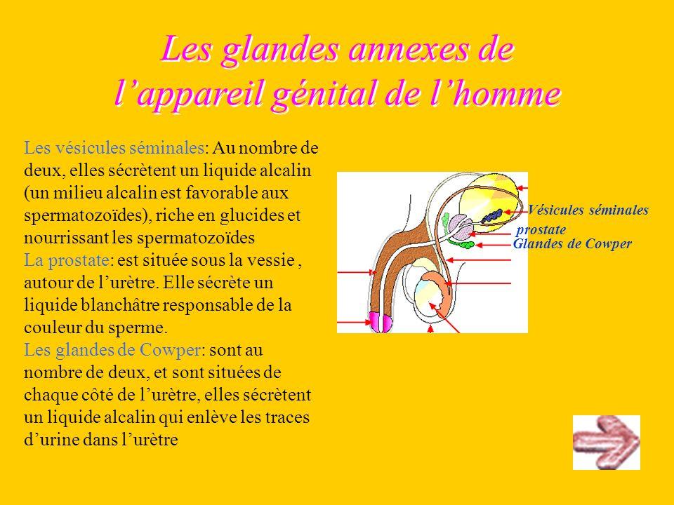 Les glandes annexes de lappareil génital de lhomme Les vésicules séminales: Au nombre de deux, elles sécrètent un liquide alcalin (un milieu alcalin e