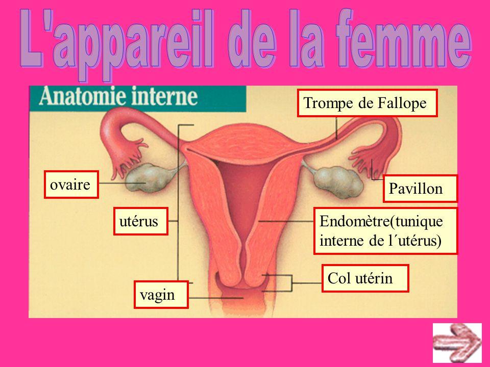 ovaire utérus vagin Col utérin Trompe de Fallope Endomètre(tunique interne de l´utérus) Pavillon