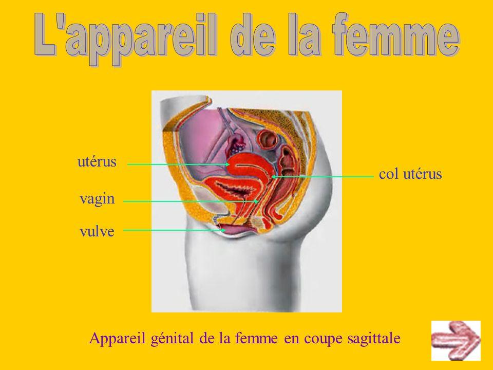 utérus vagin col utérus vulve Appareil génital de la femme en coupe sagittale