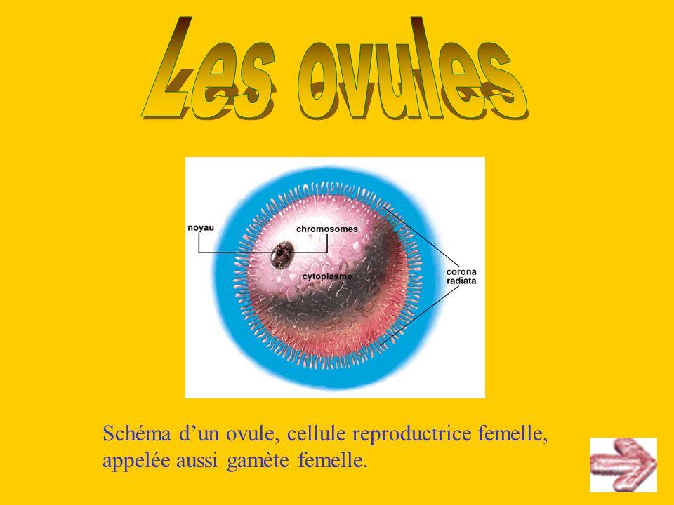Schéma dun ovule, cellule reproductrice femelle, appelée aussi gamète femelle.