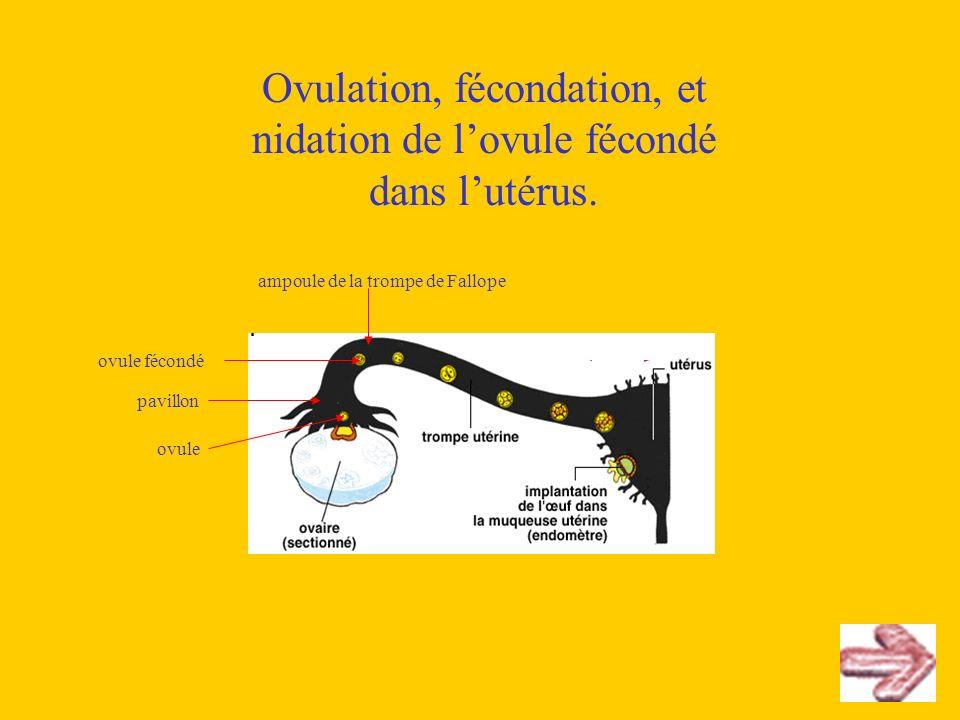 Ovulation, fécondation, et nidation de lovule fécondé dans lutérus. pavillon ovule ampoule de la trompe de Fallope ovule fécondé