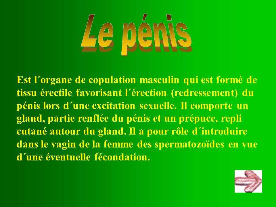Est l´organe de copulation masculin qui est formé de tissu érectile favorisant l´érection (redressement) du pénis lors d´une excitation sexuelle. Il c