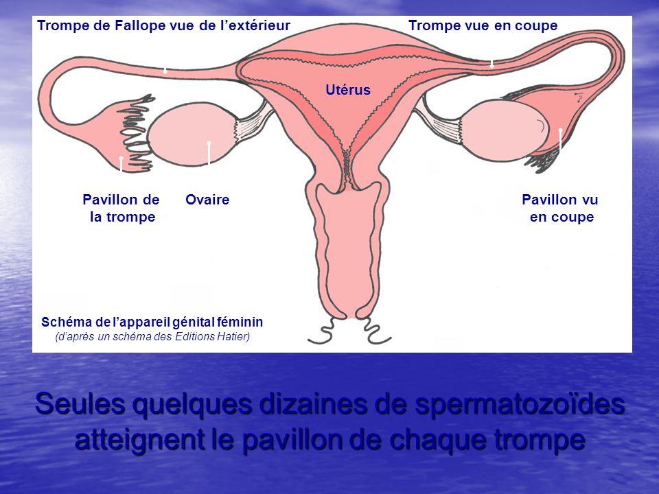 Seules quelques dizaines de spermatozoïdes atteignent le pavillon de chaque trompe Trompe de Fallope vue de lextérieurTrompe vue en coupe Pavillon de