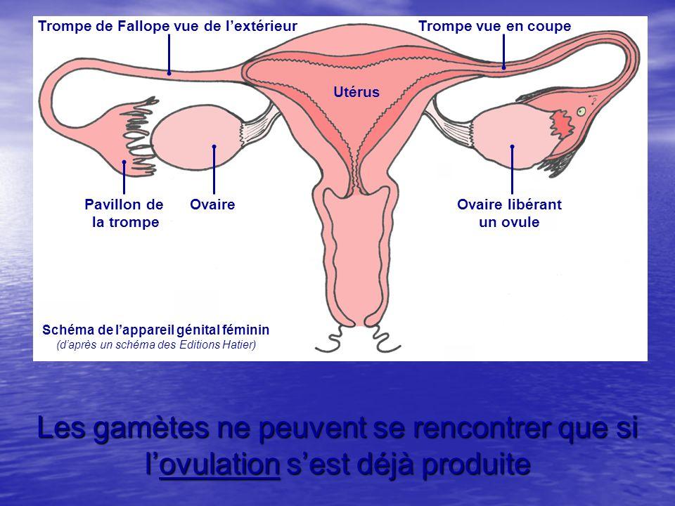 Les gamètes ne peuvent se rencontrer que si lovulation sest déjà produite Utérus Trompe de Fallope vue de lextérieurTrompe vue en coupe Pavillon de la