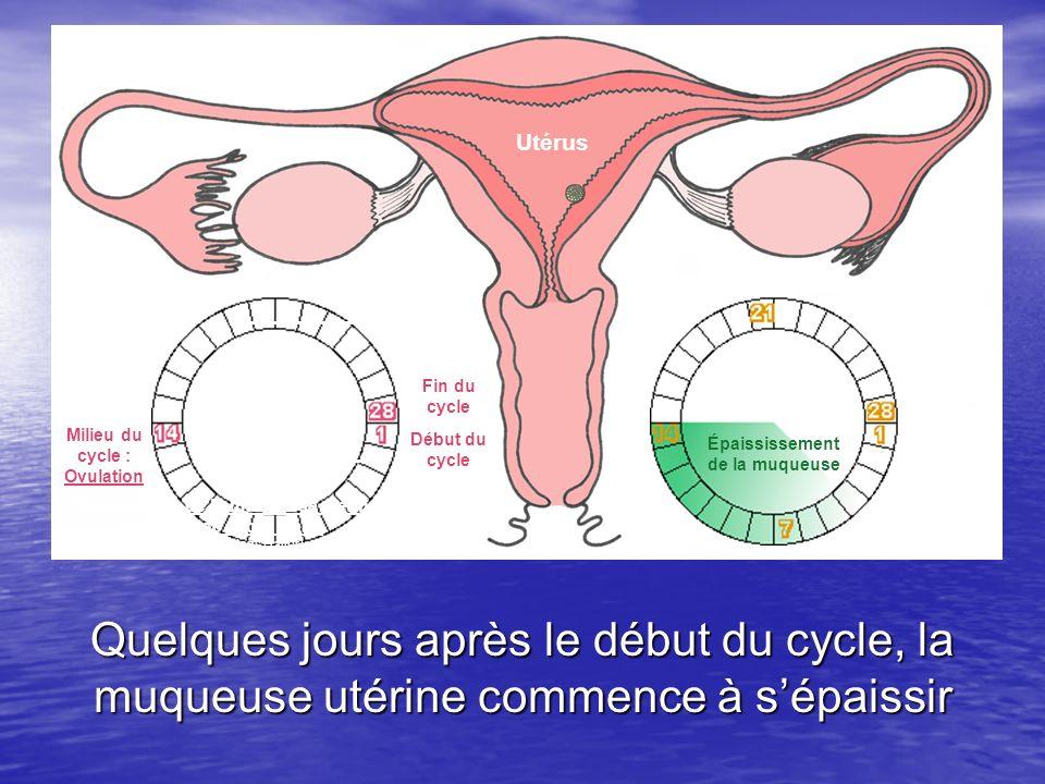 Utérus Un cycle ovarien Début du cycle Milieu du cycle : Ovulation Fin du cycle Quelques jours après le début du cycle, la muqueuse utérine commence à
