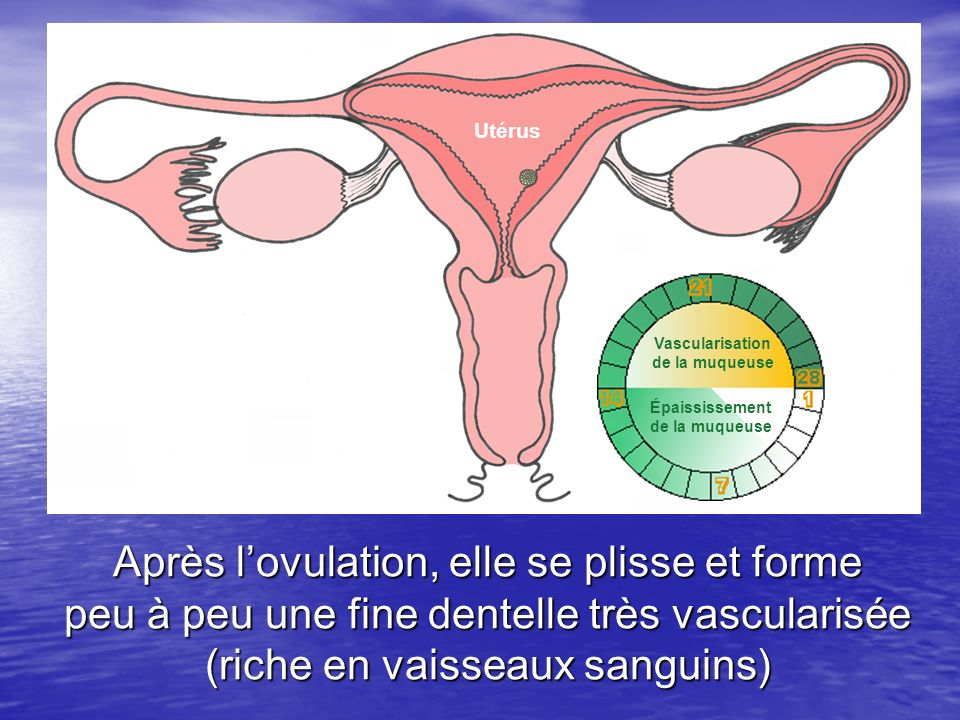Utérus Après lovulation, elle se plisse et forme peu à peu une fine dentelle très vascularisée (riche en vaisseaux sanguins) Épaississement de la muqu