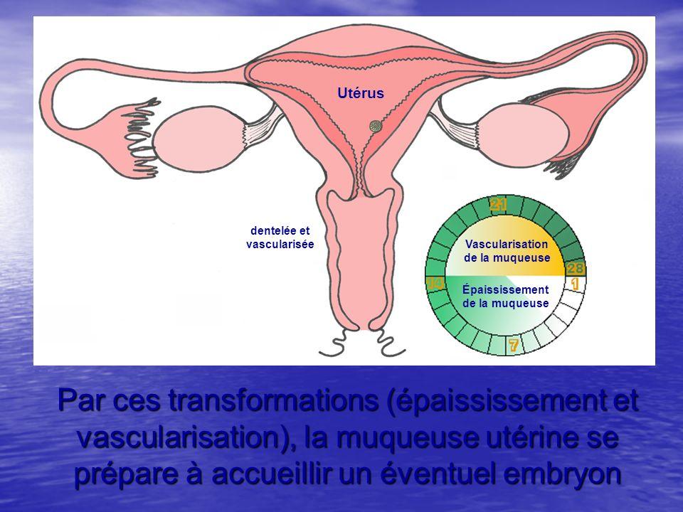 Utérus Par ces transformations (épaississement et vascularisation), la muqueuse utérine se prépare à accueillir un éventuel embryon Épaississement de