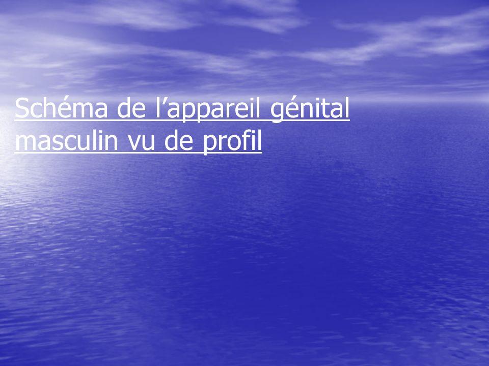 Canal déférent Os du bassin Urètre Pénis Gland Testicule Vessie Colonne vertébrale Vésicule séminale Prostate Anus Épididyme Trajet des spermatozoïdes