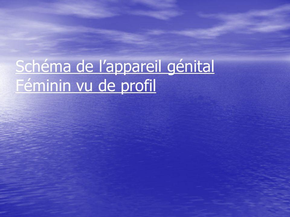 Ovaire Vessie Clitoris Urètre Os du bassin Grande lèvre Petite lèvre Colonne vertébrale Trompe Utérus Col de lutérus Vagin Anus