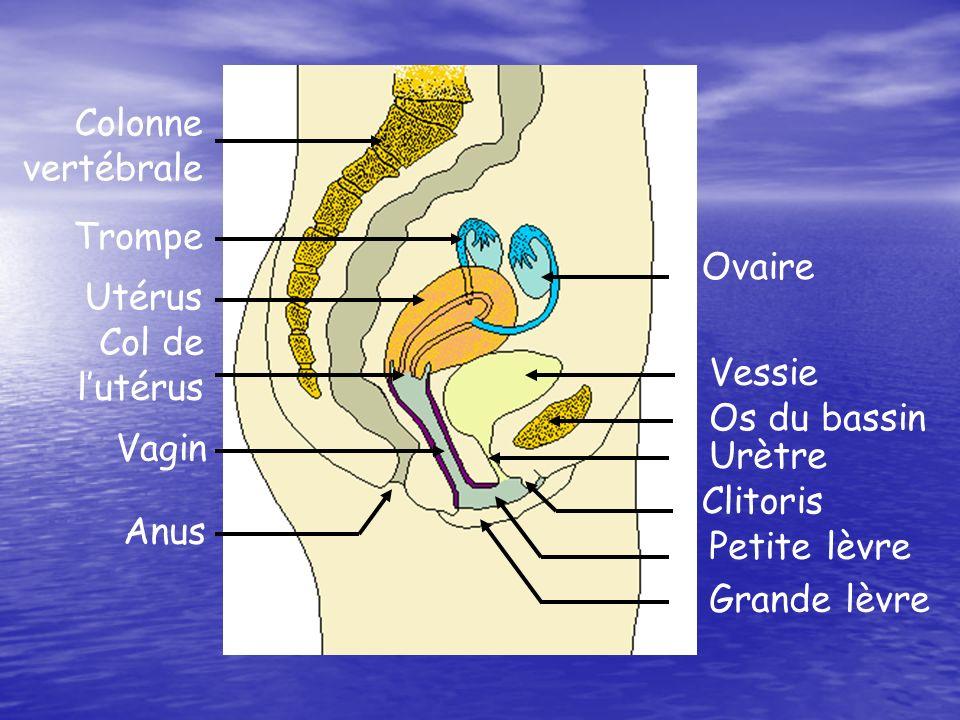 La nidation a été rendue possible par la transformation progressive de lendomètre Schéma de lembryon de 6 jours, constitué de cellules toutes identiques Utérus Endomètre (muqueuse utérine)