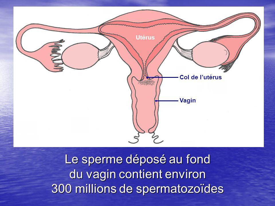 Le sperme déposé au fond du vagin contient environ 300 millions de spermatozoïdes Col de lutérus Vagin Utérus Schéma de lappareil génital féminin (dap