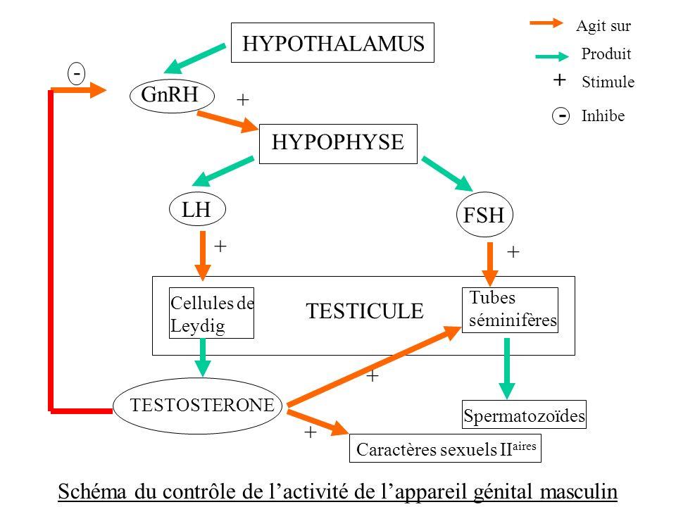 HYPOTHALAMUS HYPOPHYSE Cellules de Leydig TESTICULE Tubes séminifères GnRH LH FSH TESTOSTERONE Spermatozoïdes Caractères sexuels II aires Agit sur Pro