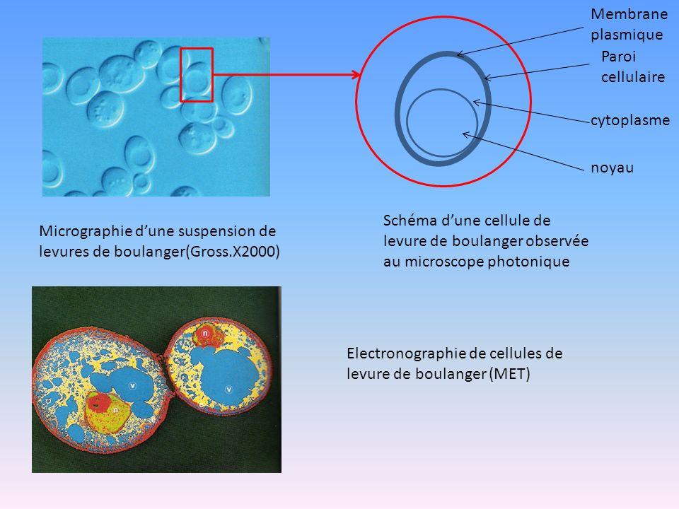 Membrane plasmique Paroi cellulaire cytoplasme noyau Micrographie dune suspension de levures de boulanger(Gross.X2000) Schéma dune cellule de levure d