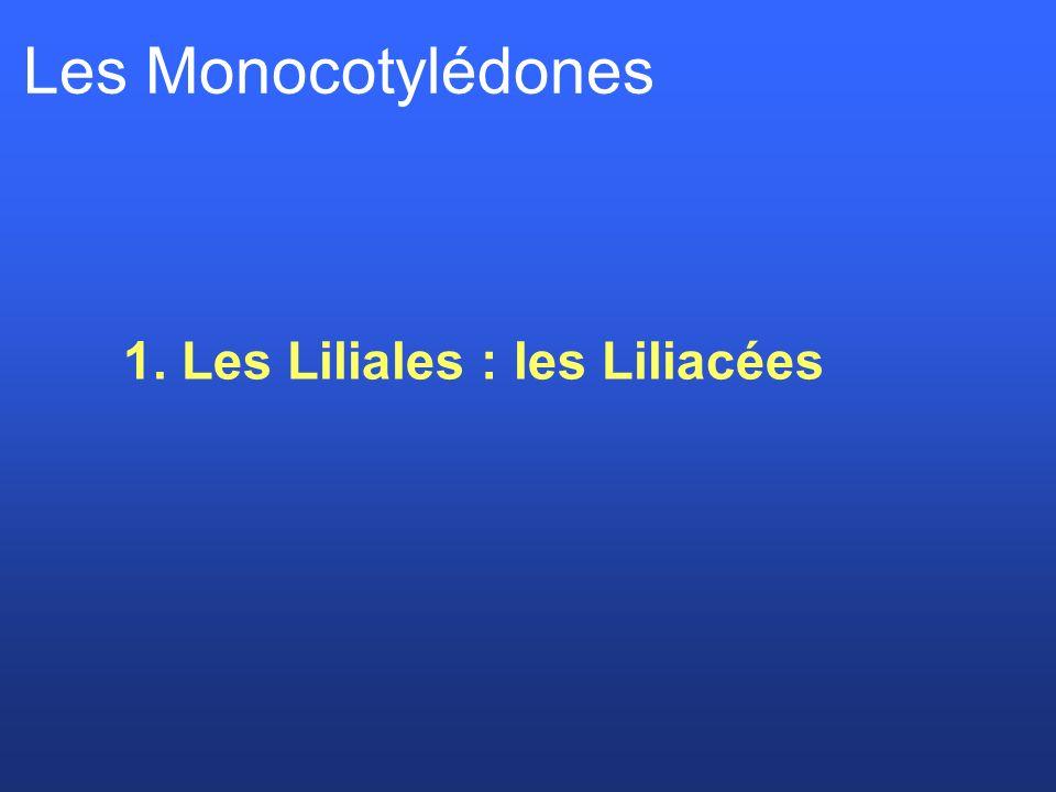1. Les Liliales : les Liliacées Les Monocotylédones