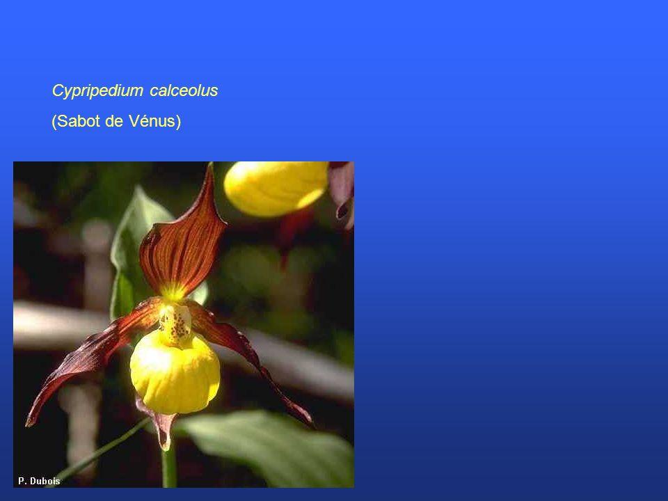 Cypripedium calceolus (Sabot de Vénus)