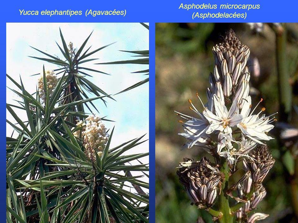 Yucca elephantipes (Agavacées) Asphodelus microcarpus (Asphodelacées)