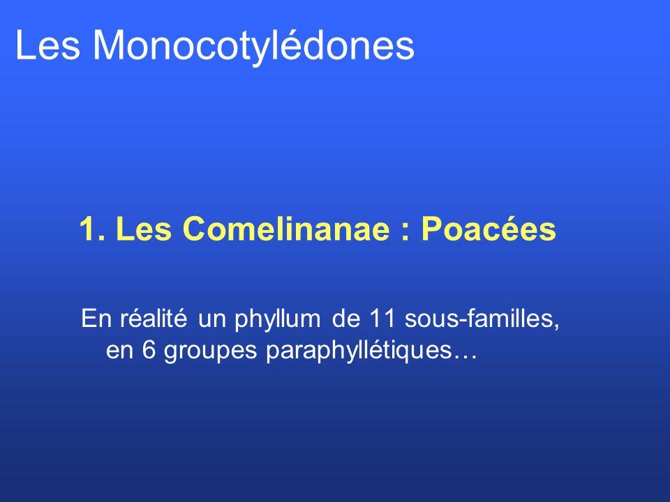 1. Les Comelinanae : Poacées Les Monocotylédones En réalité un phyllum de 11 sous-familles, en 6 groupes paraphyllétiques…