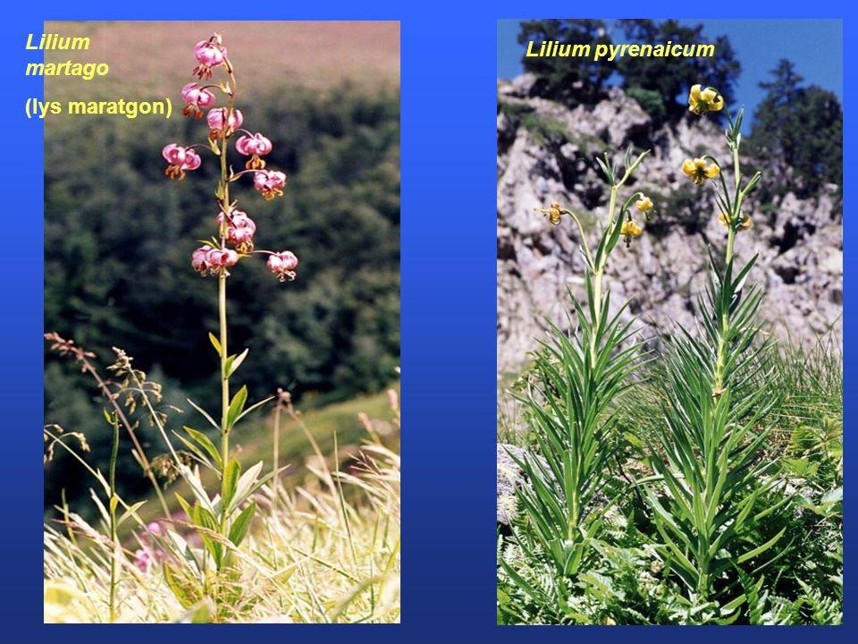 Lilium pyrenaicum Lilium martago (lys maratgon)