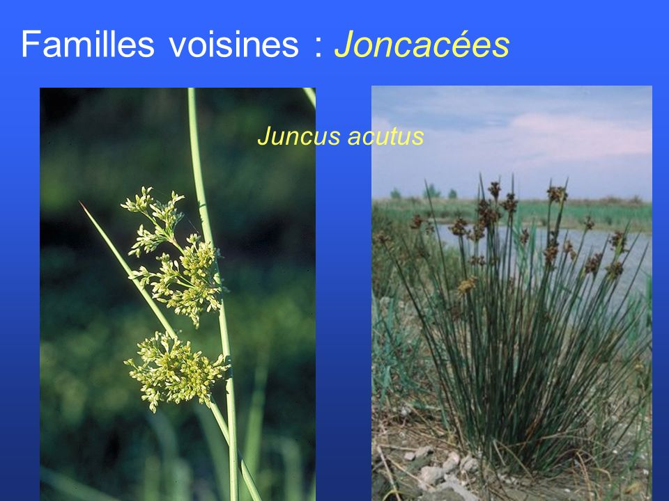 Familles voisines : Joncacées Juncus acutus